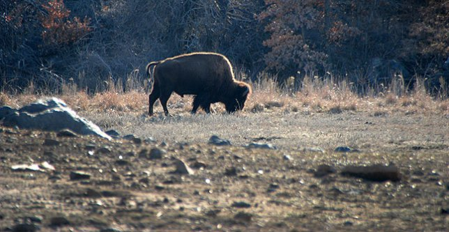 Abby made this image of an American Bison near Prairie Dog Town.