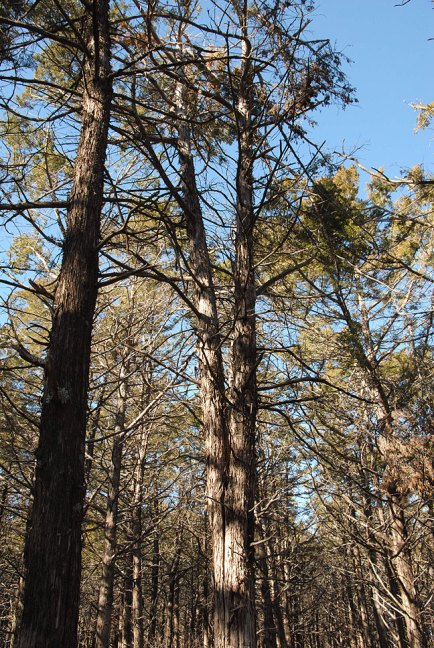 Abby created this image of soaring pines in the Parallel Forest.
