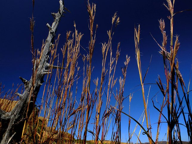 Wheat grass stands against pure blue sky.