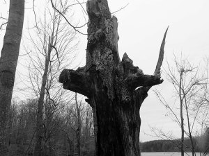 Tom photographed this super-creepy-looking tree stump by Clopper Lake.