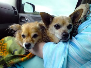Our Chihuahuas, Sierra and Max, cozy up in Abby's lap as we make our way up NM578.