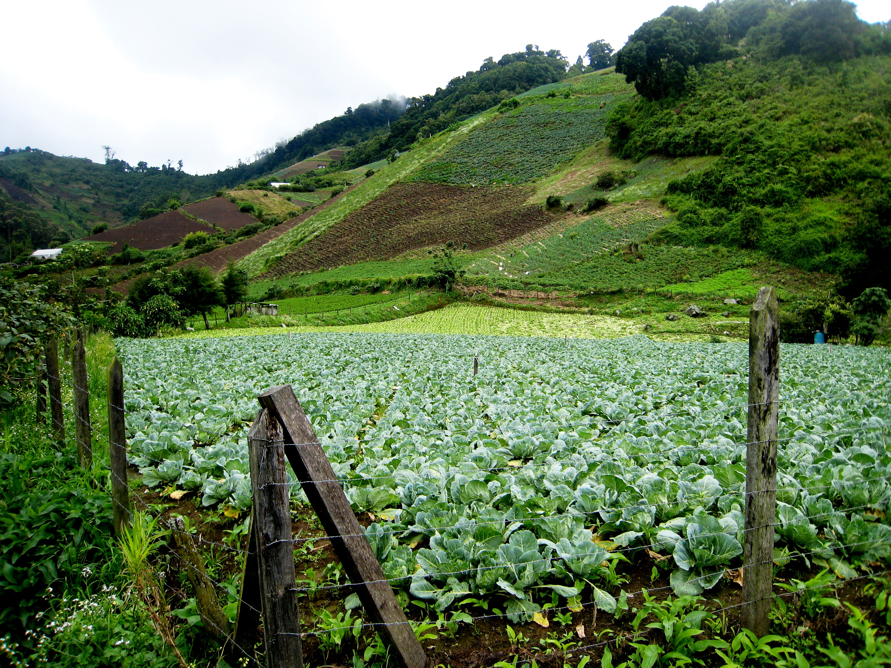Volcan Cabbage