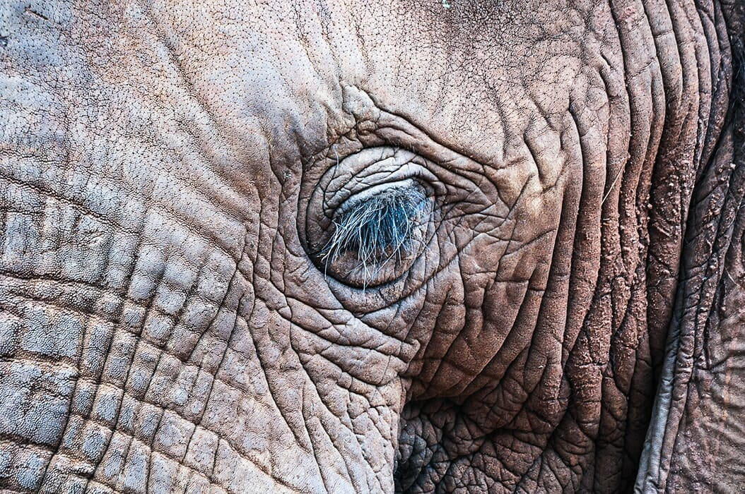 Elephant's eyelashes