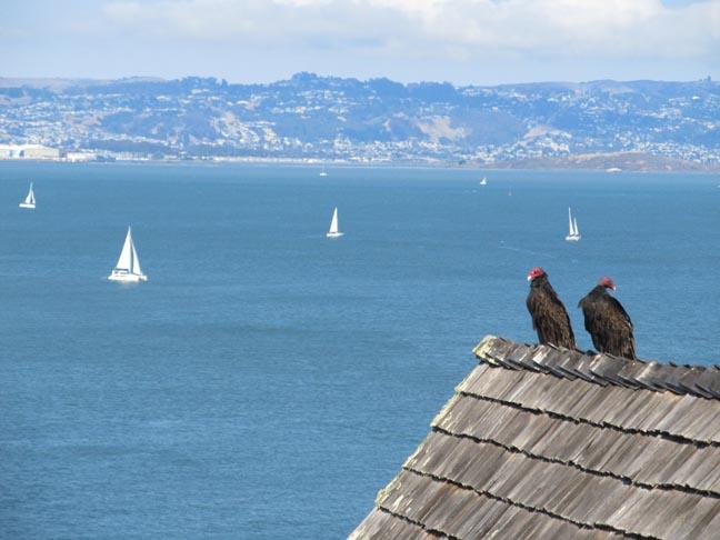 Buzzards, San Fran Bayx