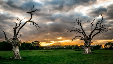Dead oak sunset
