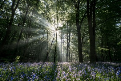 bluebell-wood_40203054730_o