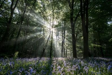 bluebell-wood_40203054730_o
