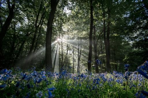 bluebell-wood_42009960511_o