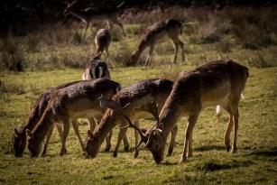 new-forest-deer-3_17138378411_o