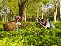Tea estate, Kazaringa, India