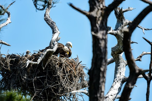 Bald-Eagle-Haliaeetus-leucocephalus-Raptor-Honeymoon-Island-13-009514.01