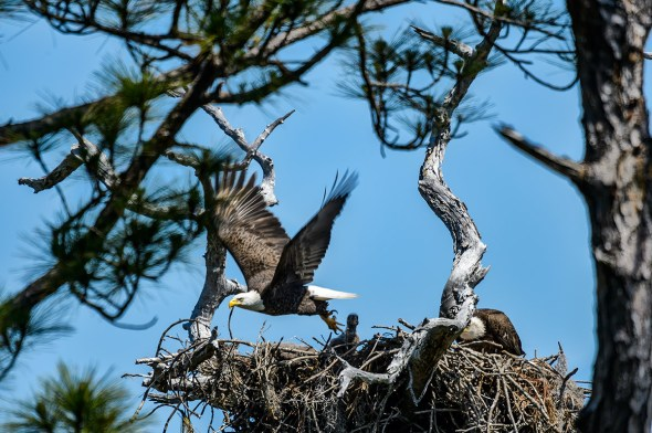 Bald-Eagle-Haliaeetus-leucocephalus-Raptor-Honeymoon-Island-13-009568.01