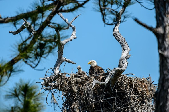 Bald-Eagle-Haliaeetus-leucocephalus-Raptor-Honeymoon-Island-13-009584.01