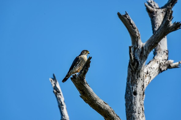 Merlin-Falco-columbarius-Raptor-Honeymoon-Island-13-009458.01