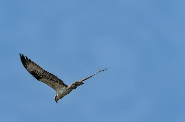 Osprey-Merritt-Island-0124997.01
