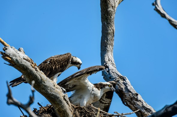 Osprey-Pandion-haliaetus-raptor-Honeymoon-Island-13-009414.01