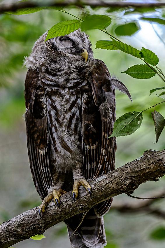 Barred-Owl-Fledgelings-Strix-varia-13-011151.vv