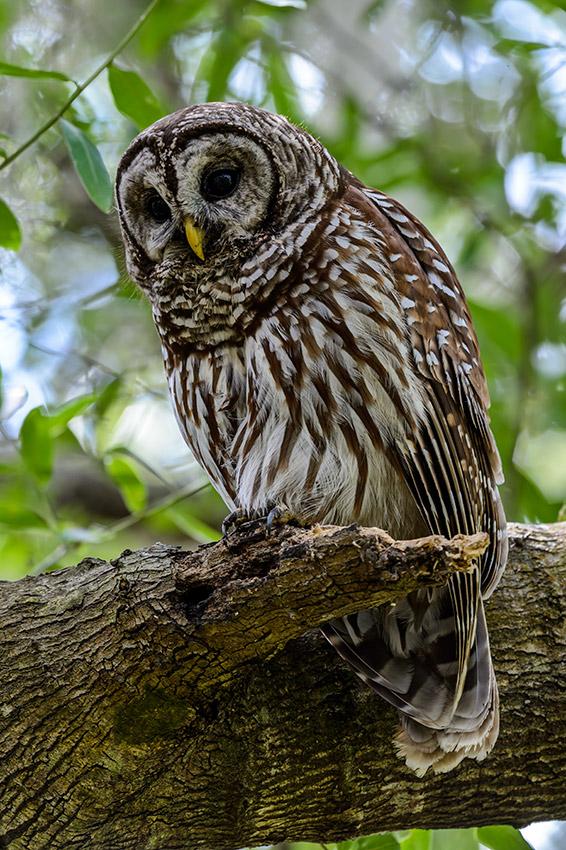 Barred-Owl-Fledgelings-Strix-varia-13-011176.vv