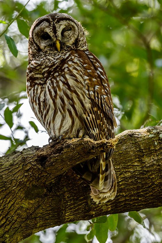 Barred-Owl-Fledgelings-Strix-varia-13-011194.vv
