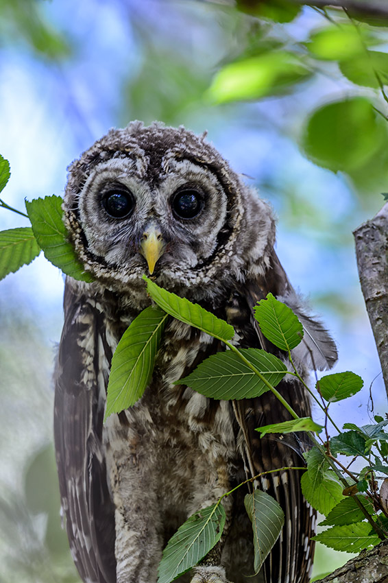 Barred-Owl-Fledgelings-Strix-varia-13-011205.vv