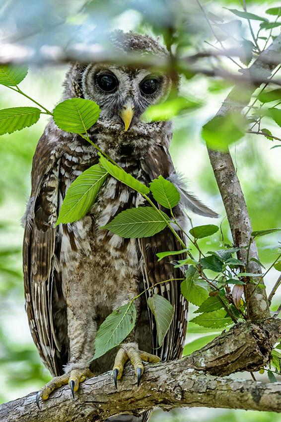 Barred-Owl-Fledgelings-Strix-varia-13-011209.vv