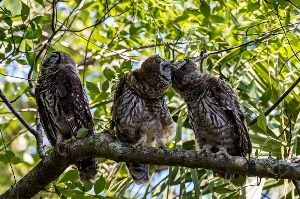 Barred-Owl-Fledgelings-Strix-varia-Pinecraft-Park-Sarasota-13-012414.vv