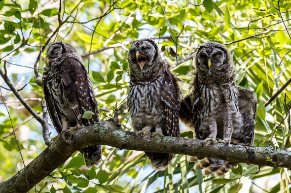 Barred-Owl-Fledgelings-Strix-varia-Pinecraft-Park-Sarasota-13-012452.vv