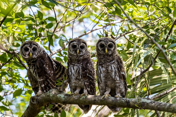 Barred-Owl-Fledgelings-Strix-varia-Pinecraft-Park-Sarasota-13-012509.vv