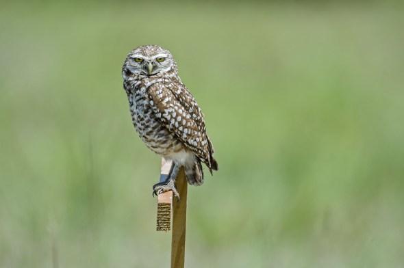 Burrowing-Owl-Athene-caunicularia-13-013279.vv