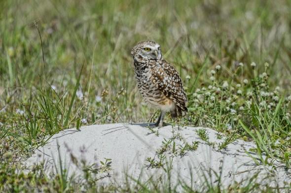 Burrowing-Owl-Athene-caunicularia-13-013346.vv