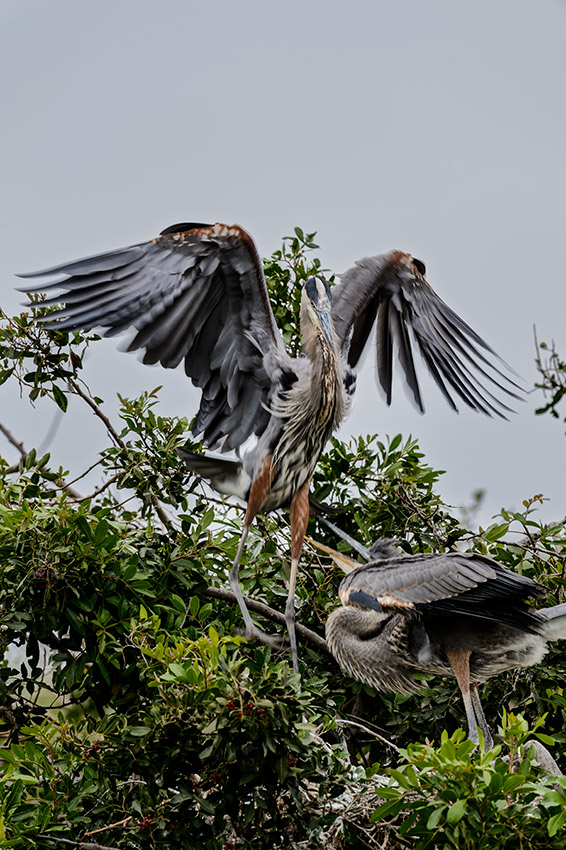 Great-Blue-Heron-Ardea-herodias-The-Rookery-Venice-13-010365.vv