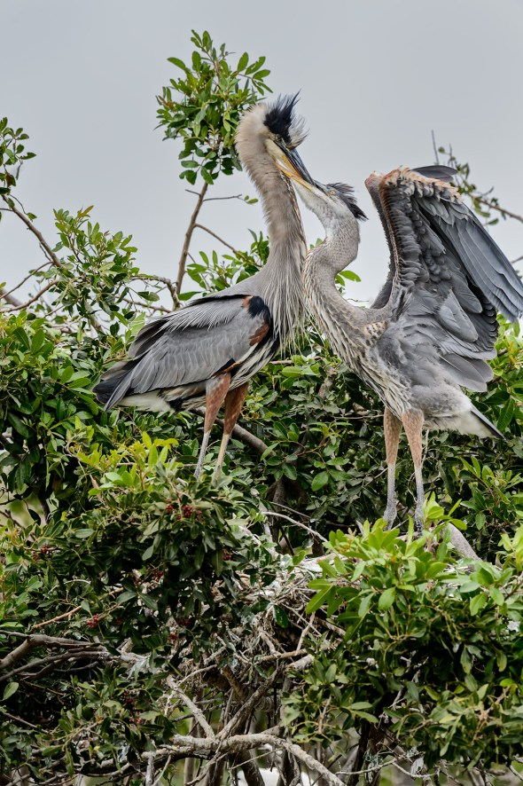 Great-Blue-Heron-Ardea-herodias-The-Rookery-Venice-13-010378.vv