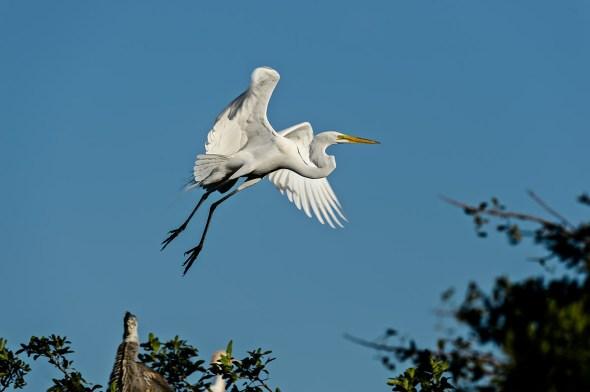 Great-Egret-Ardea-alba-The-Rookery-Venice-13-010797.vv