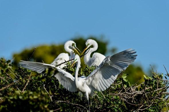 Great-Egret-Ardea-alba-The-Rookery-Venice-13-010839.vv