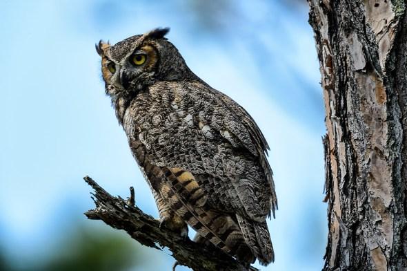Great-Horned-Owl-Bubo-virginianus-Honeymoon-Island-13-009723.01