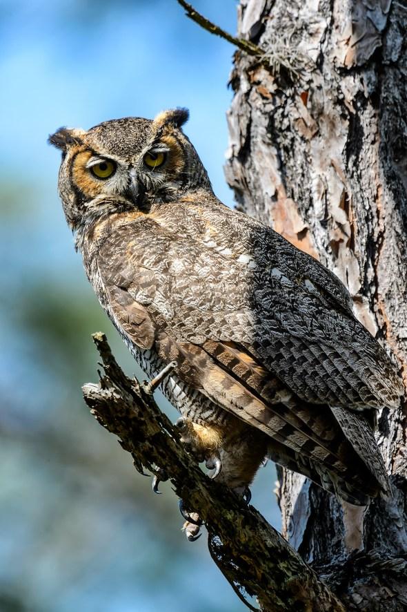 Great-Horned-Owl-Bubo-virginianus-Honeymoon-Island-13-009756.01