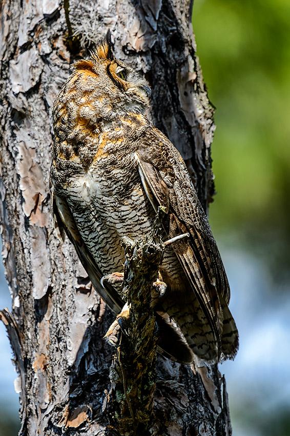 Great-Horned-Owl-Bubo-virginianus-Honeymoon-Island-13-009758.01