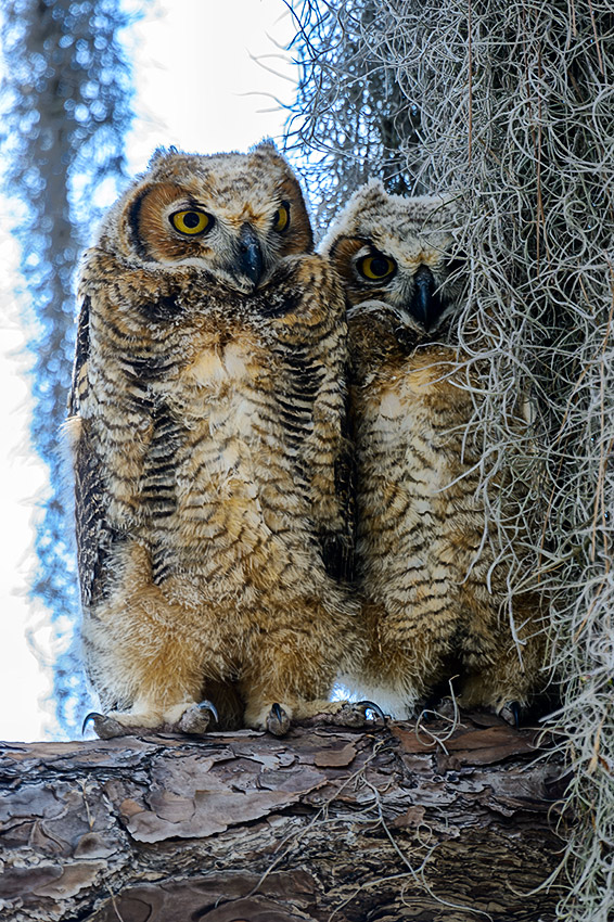 Great-Horned-Owl-Bubo-virginianus-Honeymoon-Island-13-009780.01