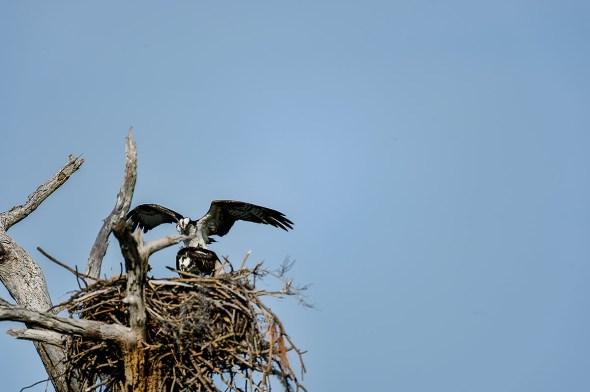 Osprey-Pandion-haliaetus-raptor-Honeymoon-Island-13-009656.01