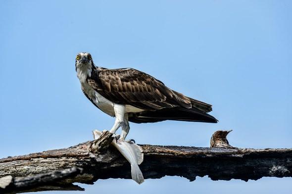 Osprey-Pandion-haliaetus-raptor-Honeymoon-Island-13-009712.01