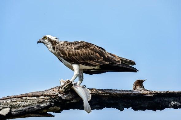 Osprey-Pandion-haliaetus-raptor-Honeymoon-Island-13-009714.01