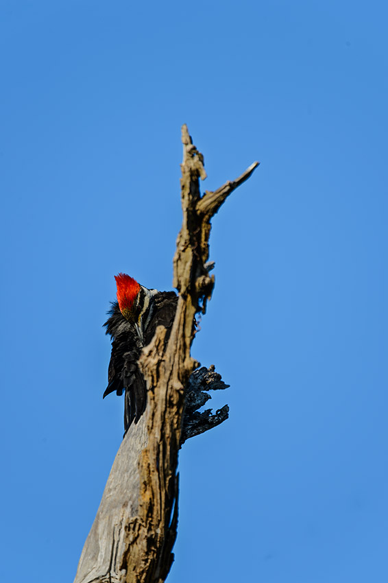 Pileated-Woodpecker-Dryocopus-pileatus-The-Rookery-Venice-13-010707.vv