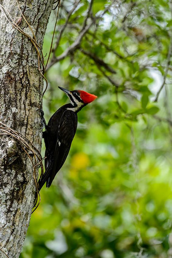 Pileated-Woodpecker-nest-Dryocopus-pileatus-13-011083.vv