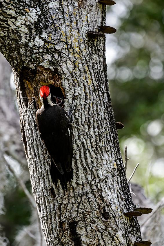 Pileated-Woodpecker-nest-Dryocopus-pileatus-13-011121.vv