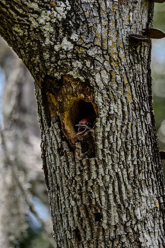 Pileated-Woodpecker-nest-Dryocopus-pileatus-13-011231.vv