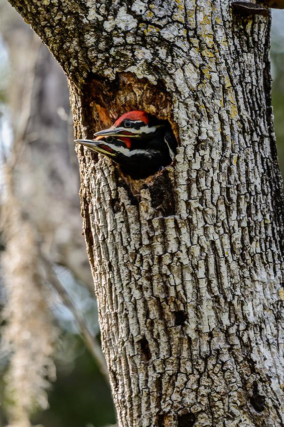 Pileated-Woodpecker-nest-Dryocopus-pileatus-Pinecraft-Park-Sarasota-13-012557.vv