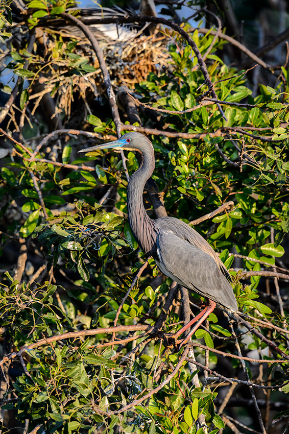 Tricolored-Heron-Egretta-tricolor-The-Rookery-Venice-13-010070.vv