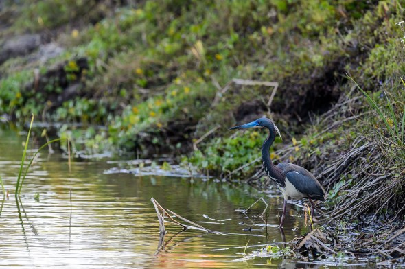 Tricolored-Heron-Egretta-tricolor-The-Rookery-Venice-13-010194.vv
