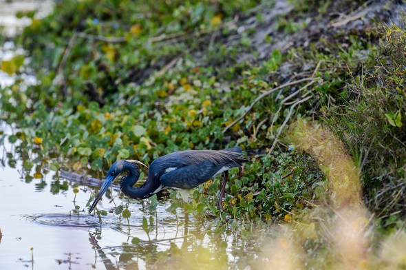 Tricolored-Heron-Egretta-tricolor-The-Rookery-Venice-13-010210.vv