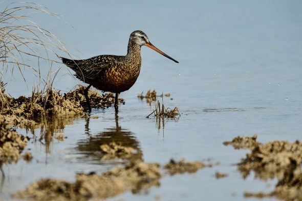 Bar-tailed-Godwit_0129369